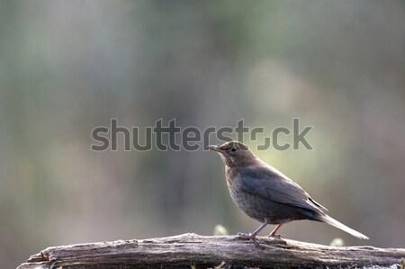 Femenino mirlo naturaleza jardín amigos aves Foto stock © ivonnewierink