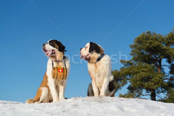 Salvataggio cani barile legno neve panorama Foto d'archivio © ivonnewierink