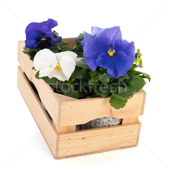 Crate Pansy plants Stock photo © ivonnewierink