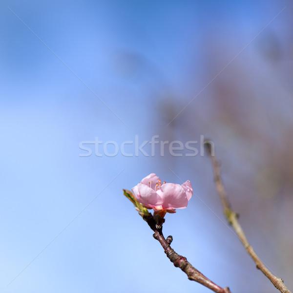 Virág nektarin virágzó fa rózsaszín Stock fotó © ivonnewierink