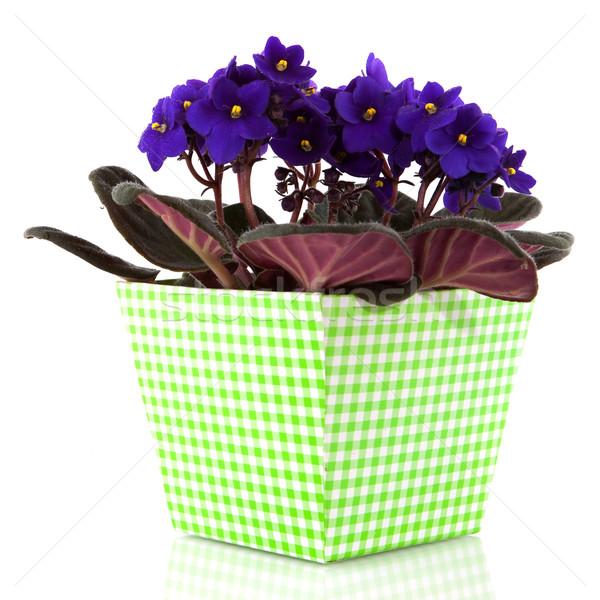 Aziz mor bitki çiçekler pot Stok fotoğraf © ivonnewierink