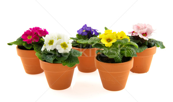 Pots with colorful Primroses Stock photo © ivonnewierink