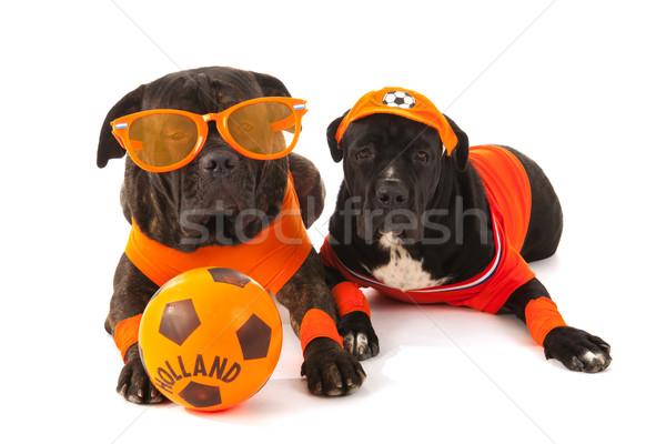 Holandês futebol laranja cães fãs bola Foto stock © ivonnewierink
