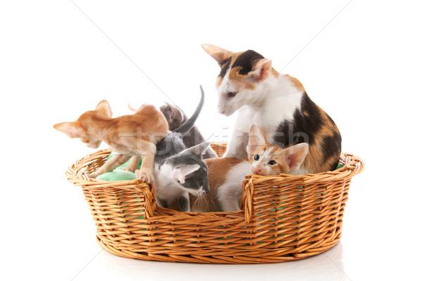 мало котят матери кошки гнезда сидят Сток-фото © ivonnewierink