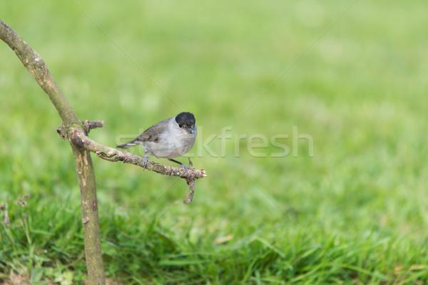 Eurasian blackcap bird Stock photo © ivonnewierink
