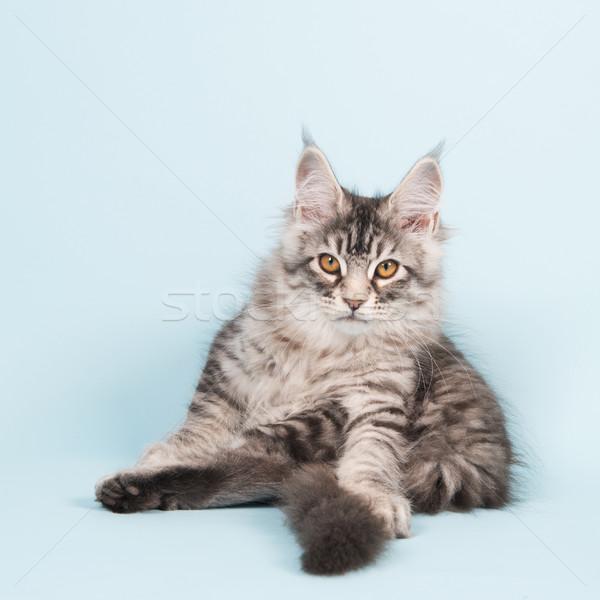 Maine kiscica ül mosás kék stúdió Stock fotó © ivonnewierink