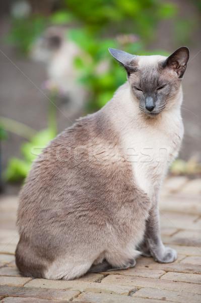 Sziámi macska kék pont szabadtér kert állat Stock fotó © ivonnewierink