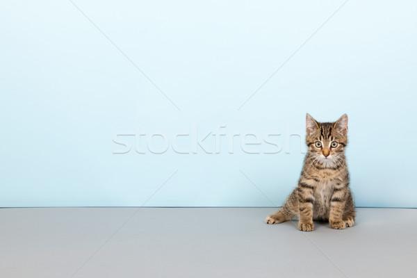 little striped cat on blue background Stock photo © ivonnewierink