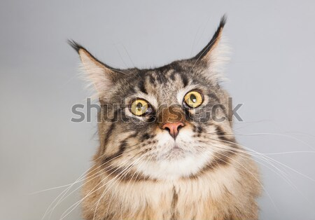 Maine coon cat on gray Stock photo © ivonnewierink