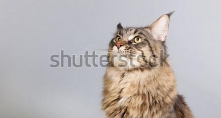 Stúdió portré sziámi macska izolált szürke Stock fotó © ivonnewierink