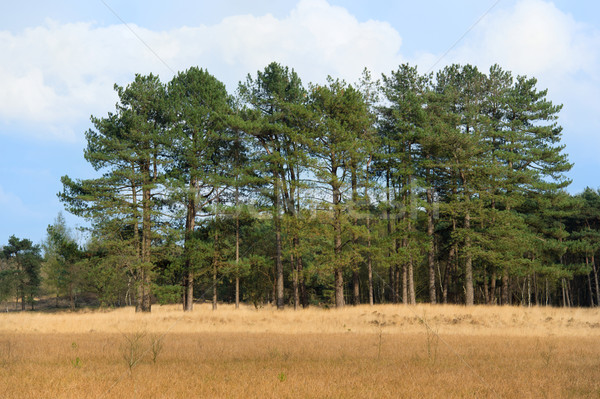 Forest with pine trees Stock photo © ivonnewierink