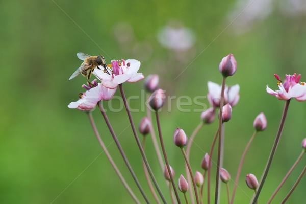 Honey bee on Grass rush Stock photo © ivonnewierink