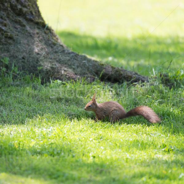 Wiewiórki charakter brązowy ziemi trawy zwierząt Zdjęcia stock © ivonnewierink
