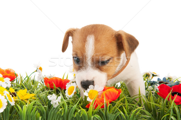 Stock photo: Puppy dog sniffing at flowers