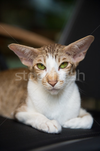 Siamese tabby cat Stock photo © ivonnewierink