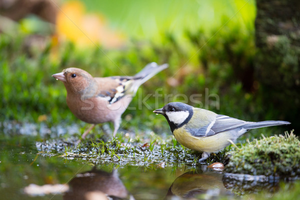 Stock photo: Blue tit and Common Chaffinch