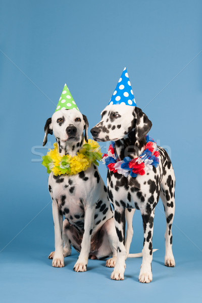 Dalmatian dogs as birthday animals on blue background Stock photo © ivonnewierink
