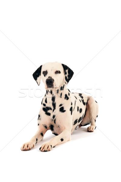 далматинец собака полу Сток-фото © ivonnewierink