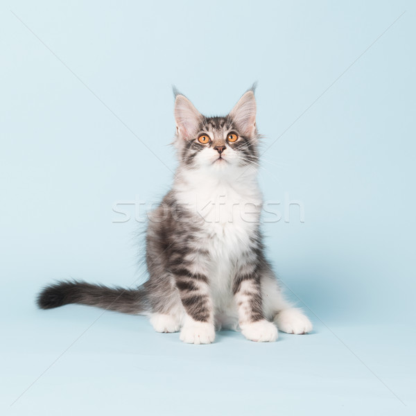 Stockfoto: Maine · kitten · vergadering · Blauw · studio