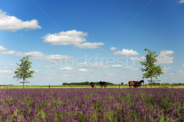 Horses in landscape behind the Lavender fields Stock photo © ivonnewierink
