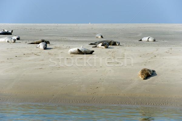Seal in nature landscape Stock photo © ivonnewierink