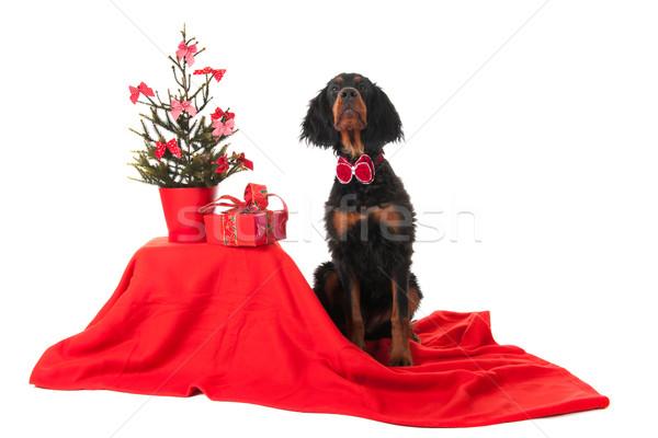 Gordon Setter as Christmas dog Stock photo © ivonnewierink