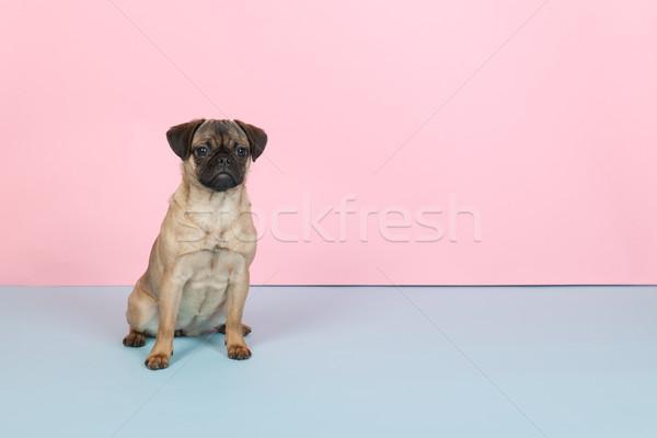 Cachorro azul rosa pequeno animal Foto stock © ivonnewierink