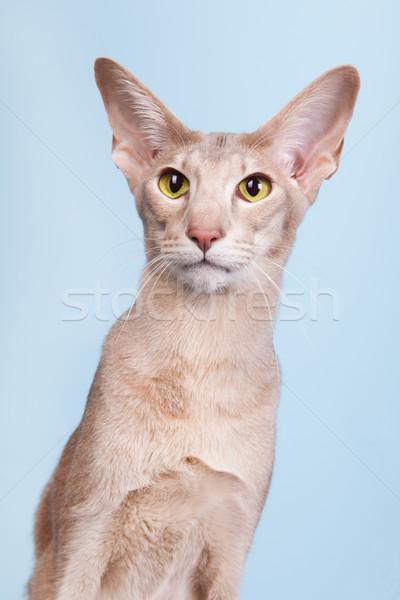 Stúdió portré levendula sziámi macska kék izolált Stock fotó © ivonnewierink