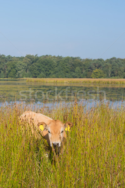 Nature landscape with cows in water Stock photo © ivonnewierink
