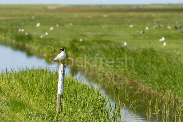 Black-headed gull on pole Stock photo © ivonnewierink