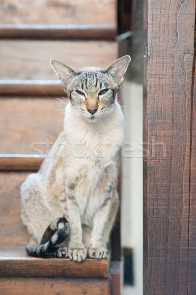 Siamese cat on wooden staircase Stock photo © ivonnewierink