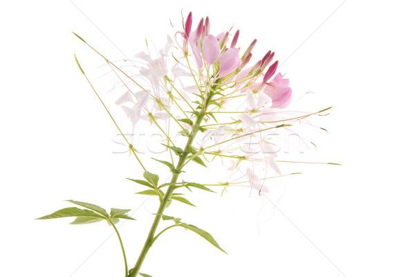 Rózsaszín egy virág izolált fehér virág természet Stock fotó © ivonnewierink