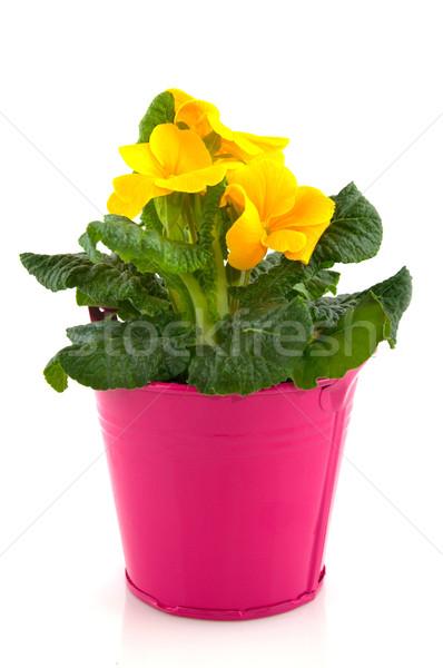 Yellow Primula Stock photo © ivonnewierink
