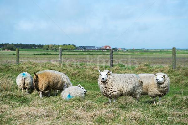 Sheep at Texel island Stock photo © ivonnewierink