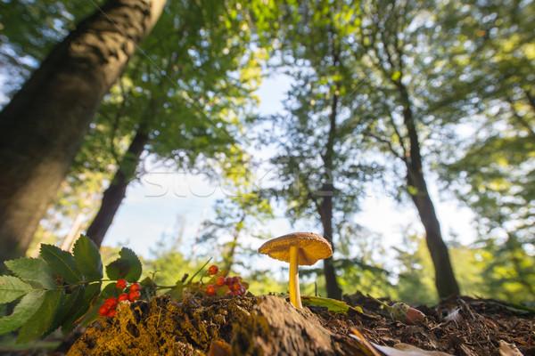 ベルベット 森林 高い 木 ストックフォト © ivonnewierink