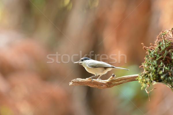 Willow tit in tree Stock photo © ivonnewierink