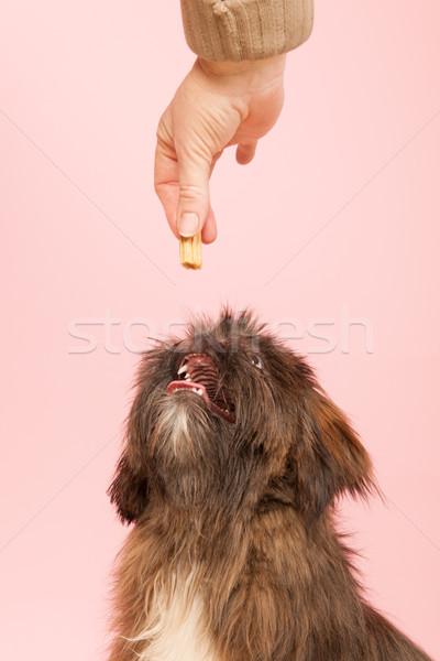 Premiare cane cookie alimentare ritratto studio Foto d'archivio © ivonnewierink