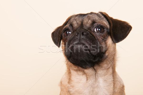 Foto stock: Cachorro · crema · pequeño · retrato · estudio · fondo