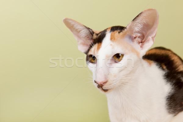オリエンタル ショートヘア 猫 緑 目 背景 ストックフォト © ivonnewierink