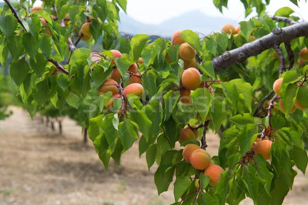 Pesche molti maturo frutta Foto d'archivio © ivonnewierink