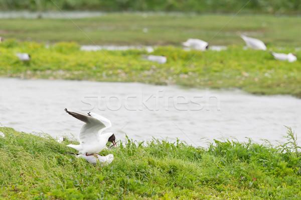 Colony black-headed sea-gulls Stock photo © ivonnewierink