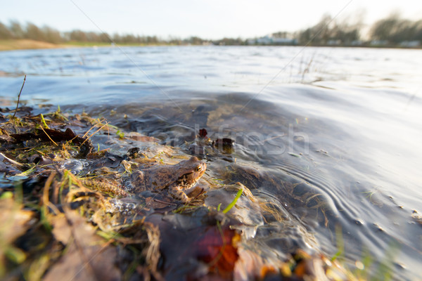 Common toad floating on water Stock photo © ivonnewierink