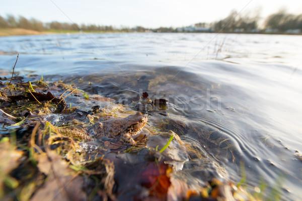 ヒキガエル 水 自然 目 葉 ストックフォト © ivonnewierink