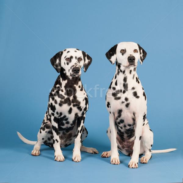 Dálmata cães azul sessão Foto stock © ivonnewierink