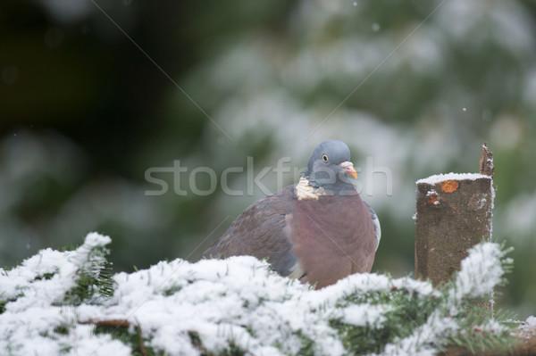 Common Wood Pigeon in snow Stock photo © ivonnewierink
