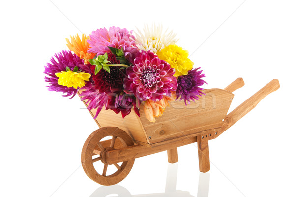 Bouquet Dahlias in wheel barrow Stock photo © ivonnewierink