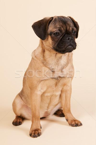 Cachorro creme pequeno sessão estúdio jovem Foto stock © ivonnewierink