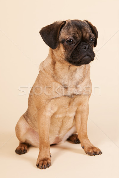 Cucciolo crema piccolo seduta studio giovani Foto d'archivio © ivonnewierink