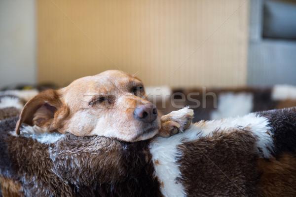 Sleepy cross breed dog in basket Stock photo © ivonnewierink