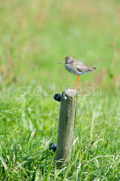 Common redshank Stock photo © ivonnewierink